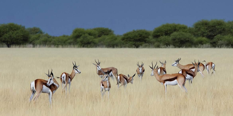 Gazelles grazing in Botswana grassland