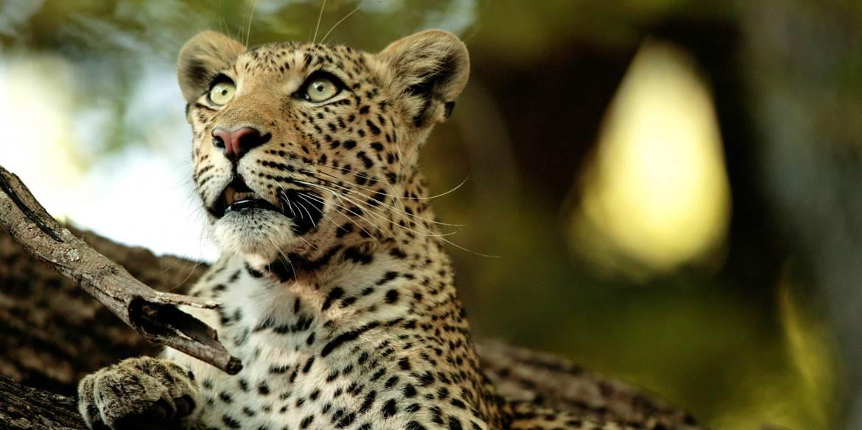 Leopard at Chitabe Safari Camp in Botswana