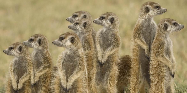 Group of Meerkats in Botswana's Makgadikgadi