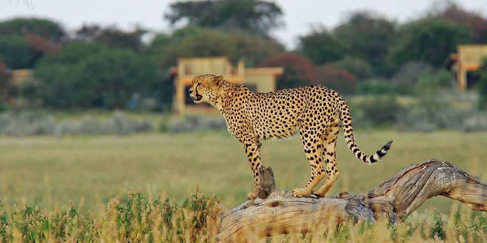 Cheetah in Central Kalahari Game Reserve Botswana