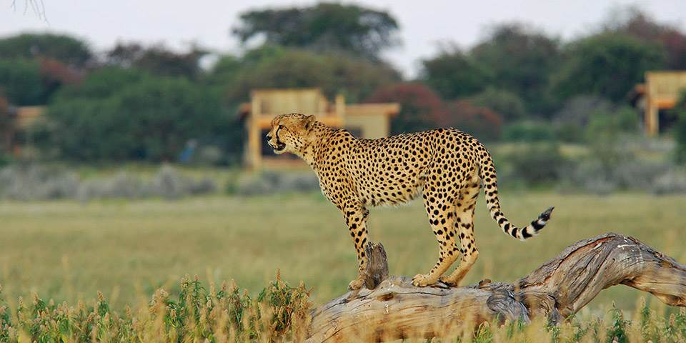 Cheetah outside Kalahari Plains safari camp
