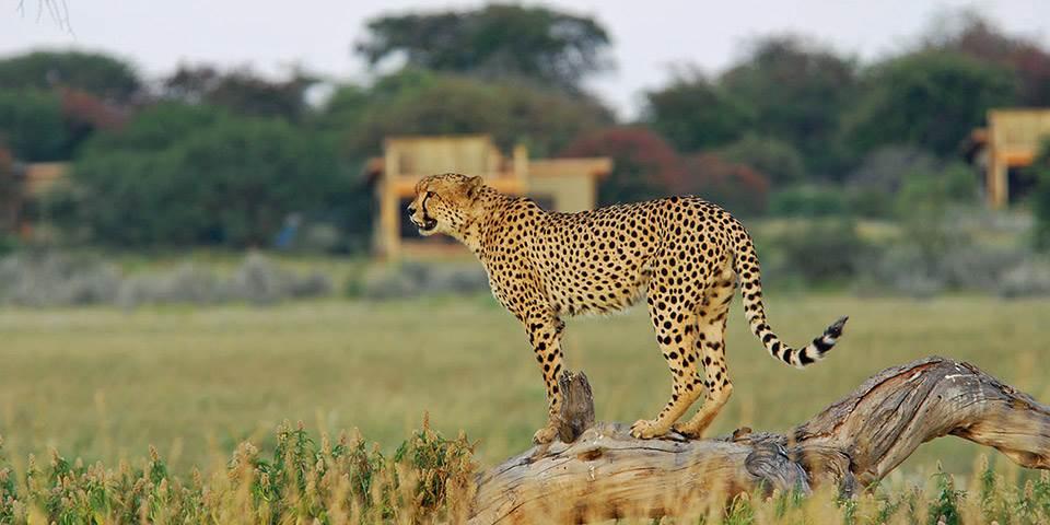 Cheetah outside Kalahari Plains safari camp