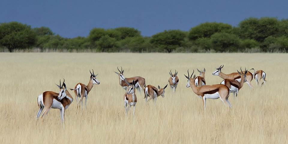 Springbok in savanna at Kalahari Plains safari camp