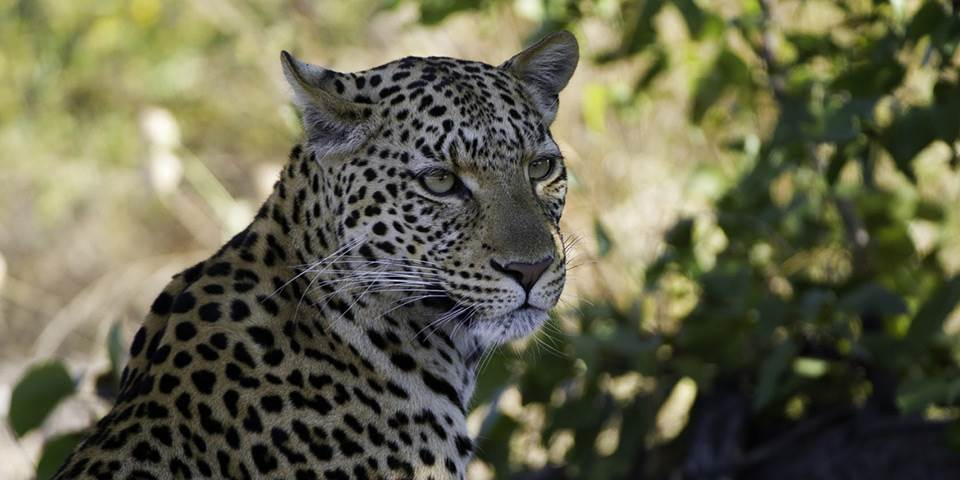 Leopard in bush on the Linyanti game reserve
