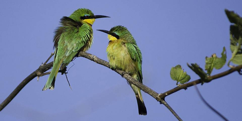 Two birds in a tree on Linyanti game reserve
