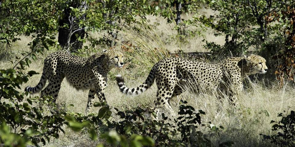 Two cheetah in Linyanti game reserve