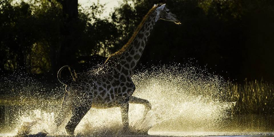 Giraffe walking through lagoon at Duma Tau Camp in Botswana