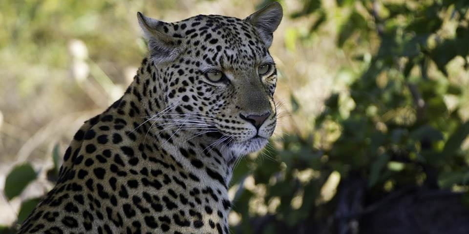 Leopard in the Linyanti Game Reserve Botswana
