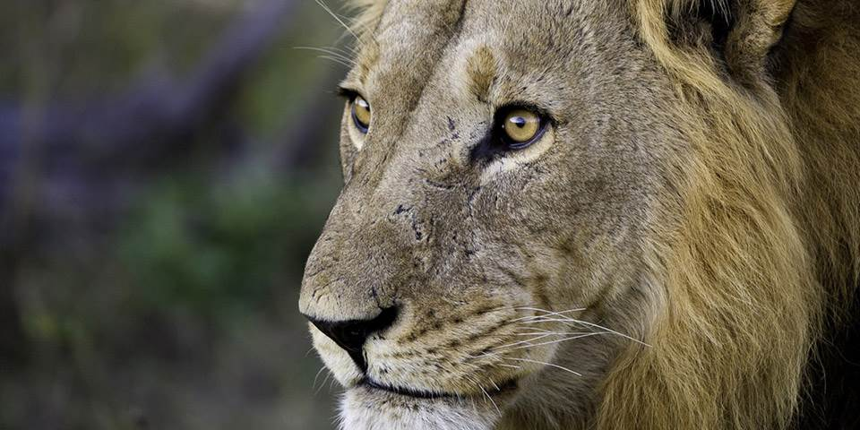 Close up of male lion at Kings Pool safari camp Botswana