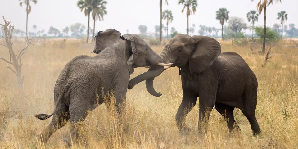 Bull elephants fighting in Linyanti Game Reserve near Selinda safari camp