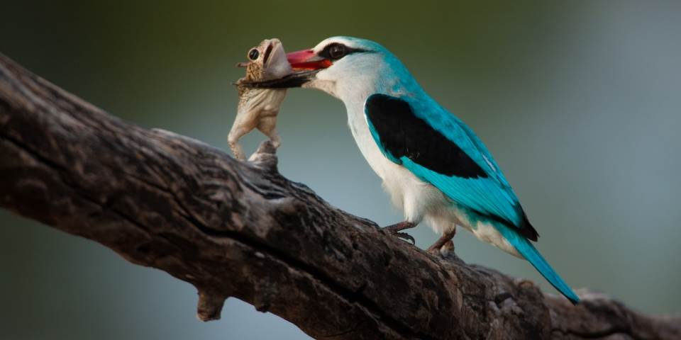 Kingfisher eating frog at Zarafa safari camp