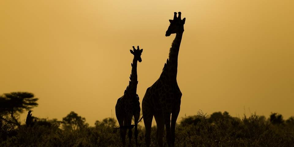 Two giraffe at sunset at Zarafa safari camp in Botswana