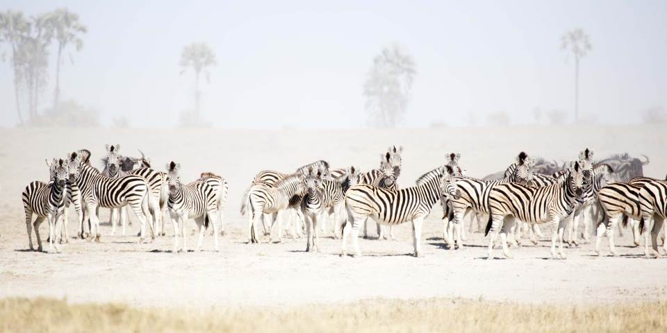 Herd of zebra on the Makgadikgadi Pans