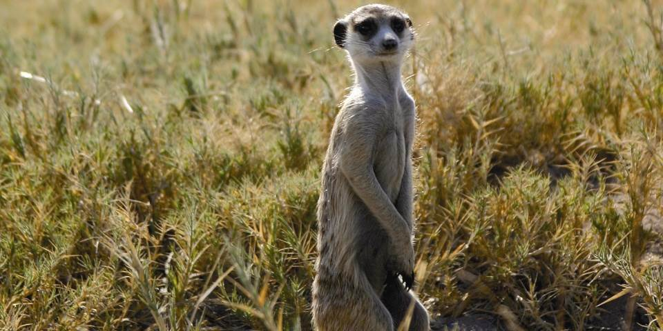 Meerkat at San Camp in Botswana