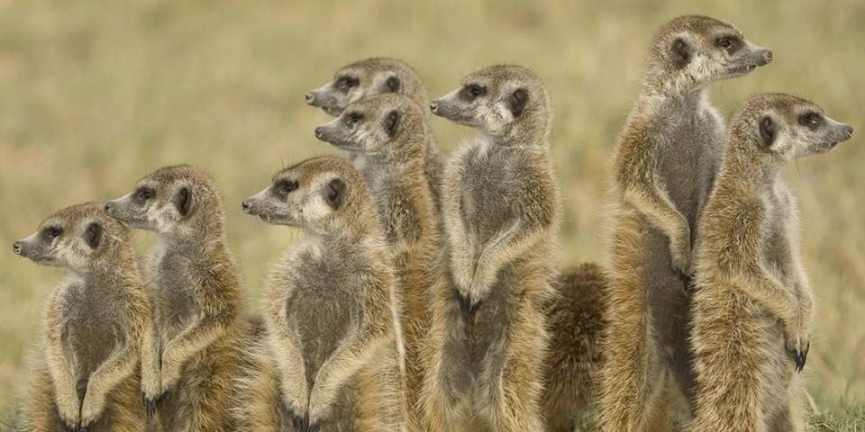 Group of meerkats on the Makgadikgadi Pans in Botswana