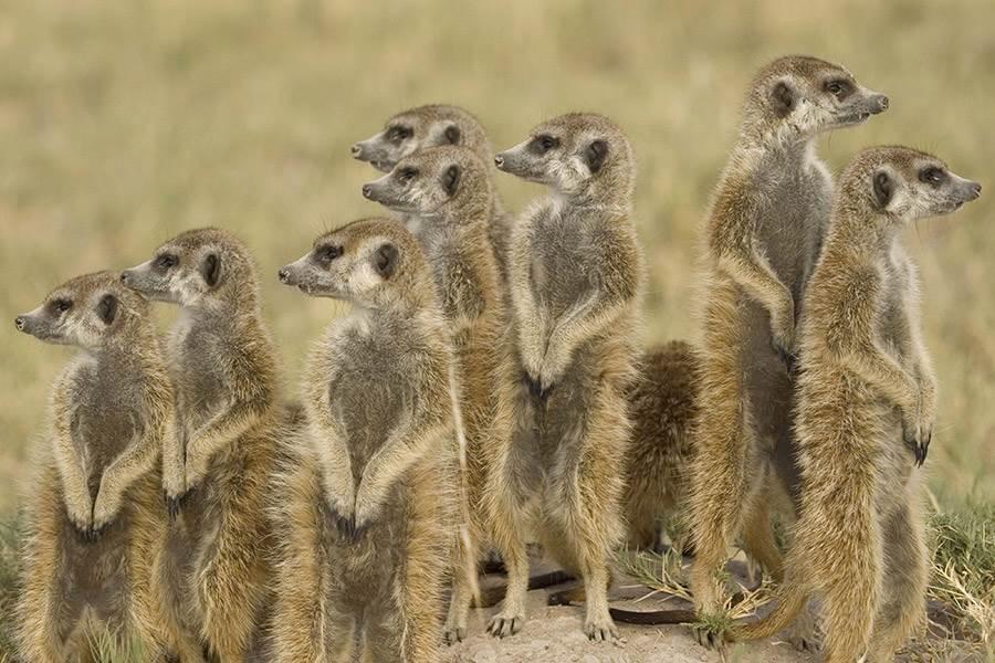 Jacks Camp Botswana Luxury Botswana Mirus Journeys : meerkatgroup from mirusjourneys.com size 900 x 600 jpeg 91kB