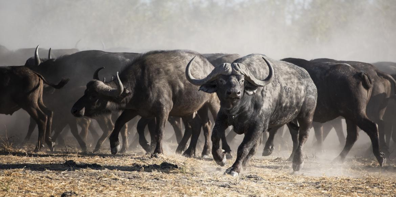 Qorokwe Buffalo