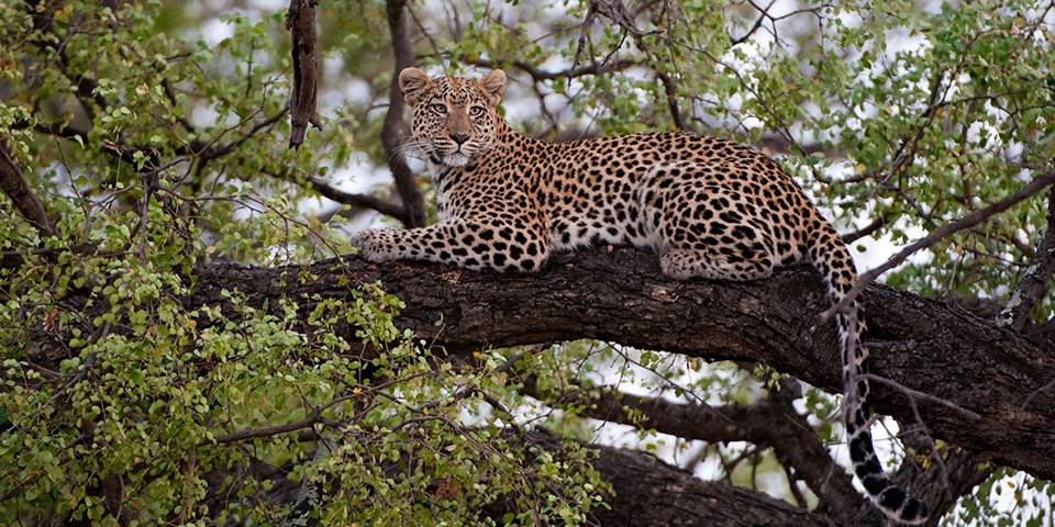 leopard in tree near Abu Camp Botswana
