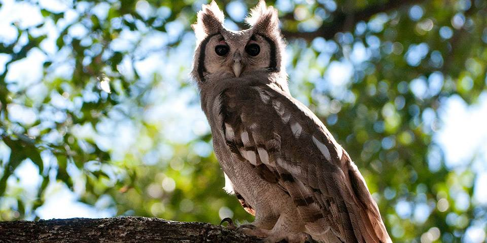 Owl in tree at Abu luxury safari camp