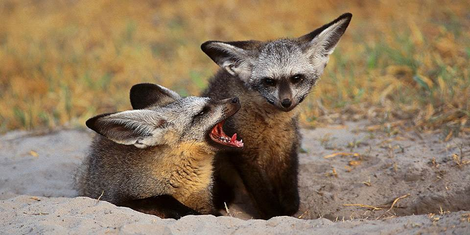 Foxes in burrow at Chitabe Camp