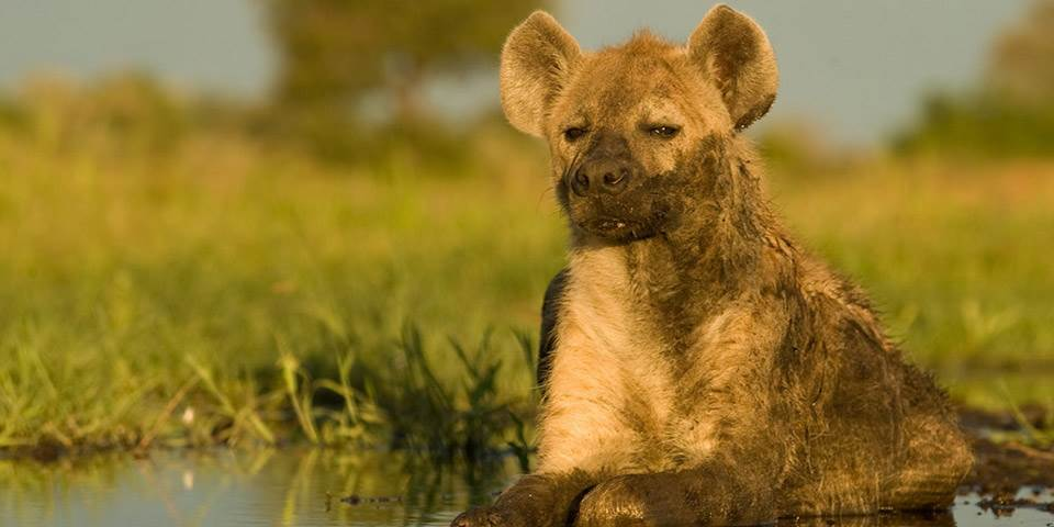 Hyena in Okavango Delta near Chitabe safari camp