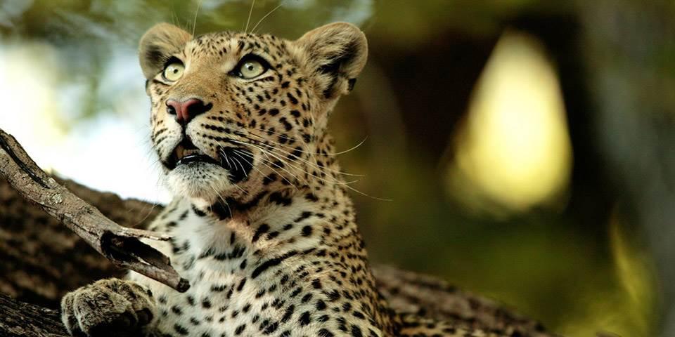 Leopard in tree near Chitabe Camp in Botswana