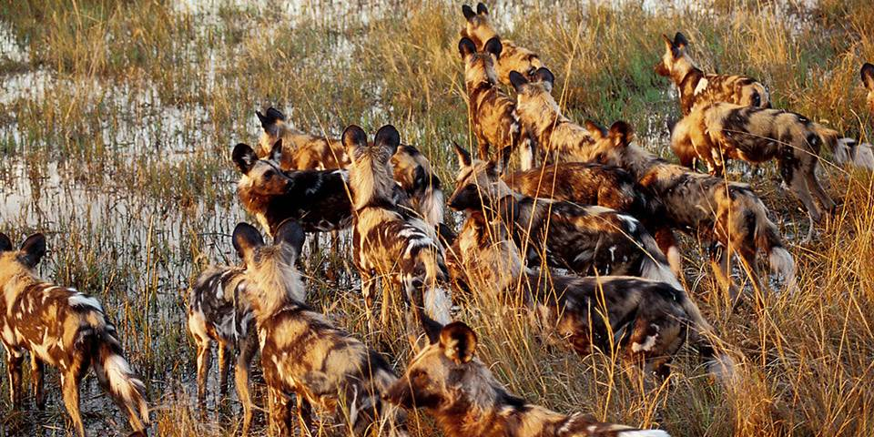 A large pack of hyena on the Chitabe Concession in Botswana's Okavango Delta