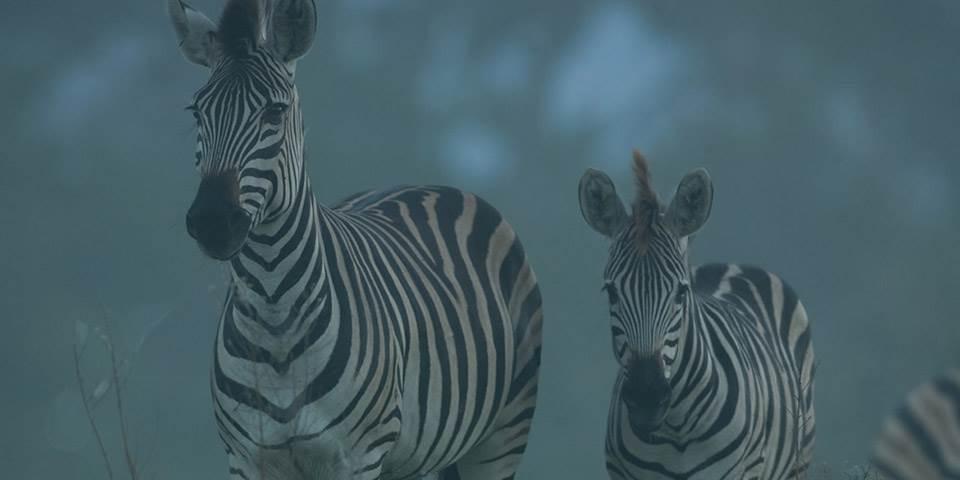 Zebra on the Chitabe Concession in Botswana
