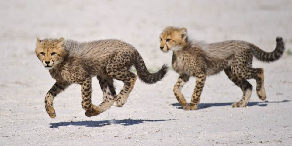 Two young cheetah at Chitabe Lediba safari camp