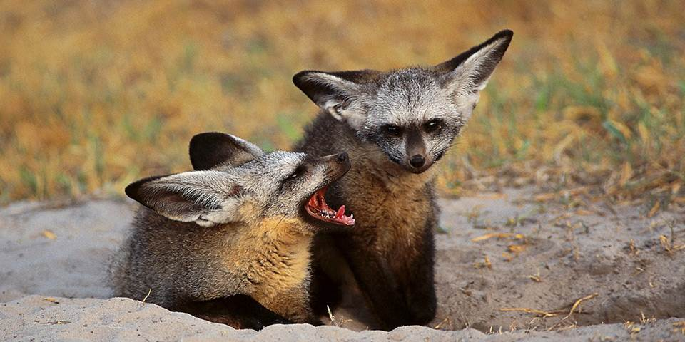 Two Foxes in the Okavango Delta
