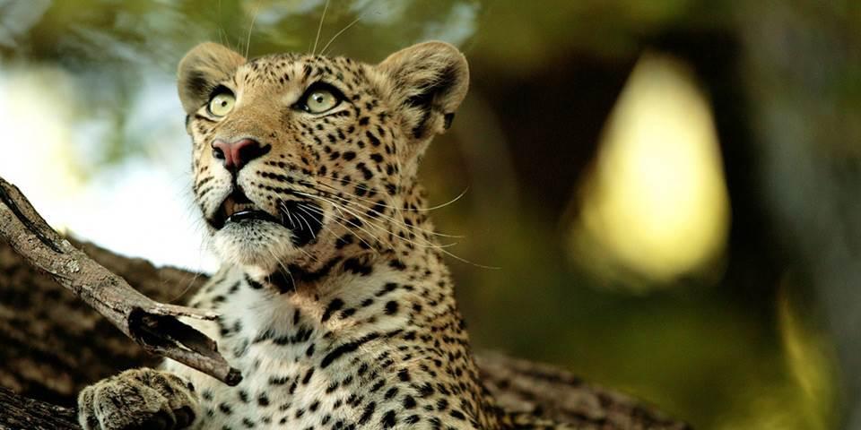 A Leopard in a tree near Chitabe Safari Camp