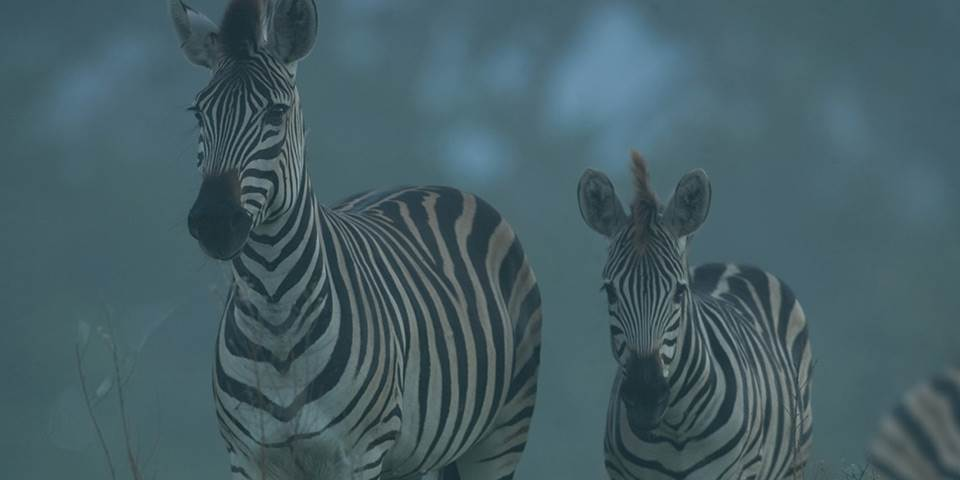 Zebra in the Okavango Delta
