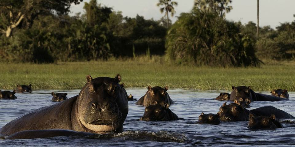 Hippopotamus in the Okavango Delta waterways