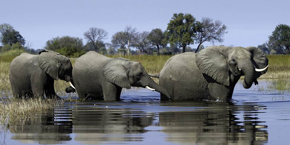 Elephants at the edge of the Okavango River