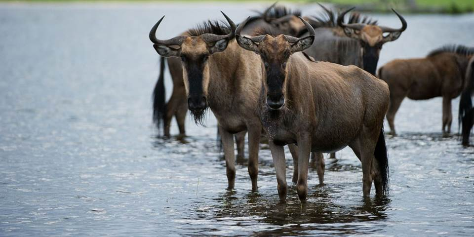 Herd of wildebeest in Botswana's Okavango Delta