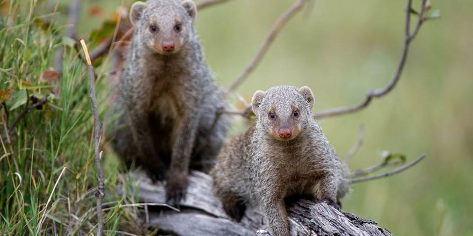 Two mongoose at Kwetsani safari camp