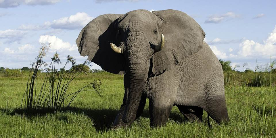 Close up of elephant at Little Mombo safari camp in the Okavango Delta