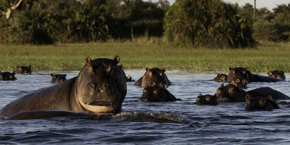 Group of hippopotamus in water way of the Okavango Delta