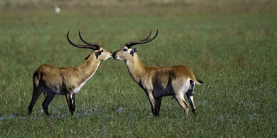 Two red lechwe in the Okavango Delta