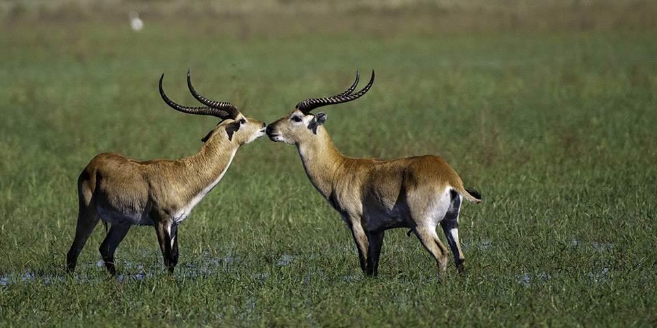 Two red lechwe in the Okavango Delta