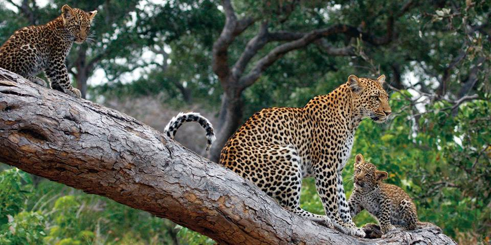 Female leopard with two cubs in a tree near Little Mombo luxury safari camp