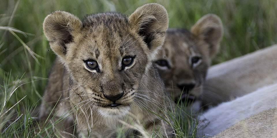 Two lion cubs in Botswana's Okavango Delta