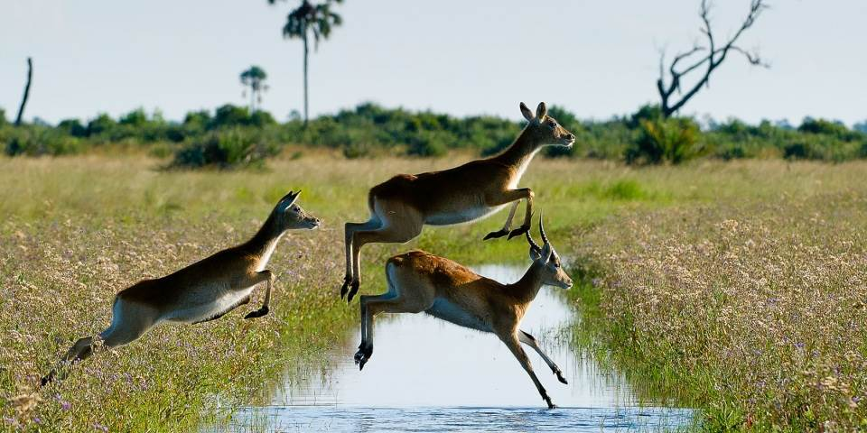 Three red lechwe jumping over stream in Okavango Delta