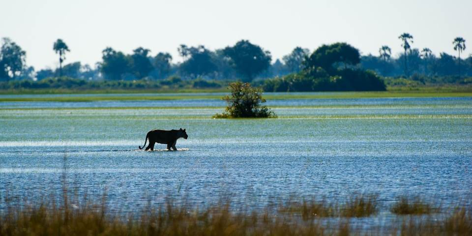 Lion in shallow marsh in the Okavango Delta