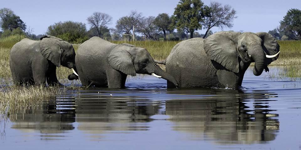 Family of elephants in Okavango Delta waterway near Little Vumbura safari camp