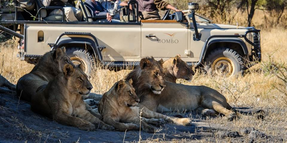 A pride of lion at Mombo safari camp