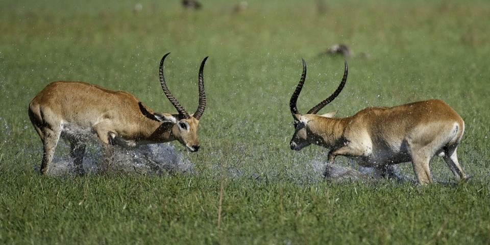 Two male lechwe fighting in the Okavango Delta, Botswana