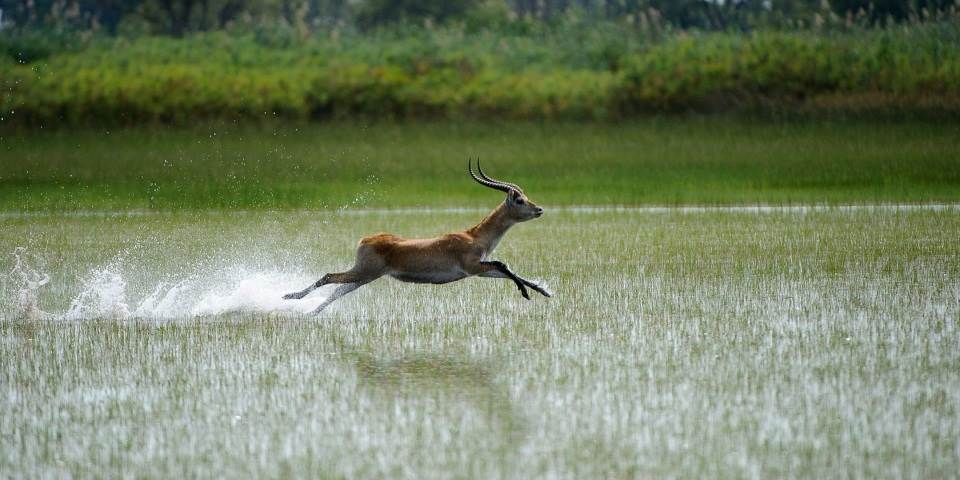 Red lechwe running through Okavango Delta waterway