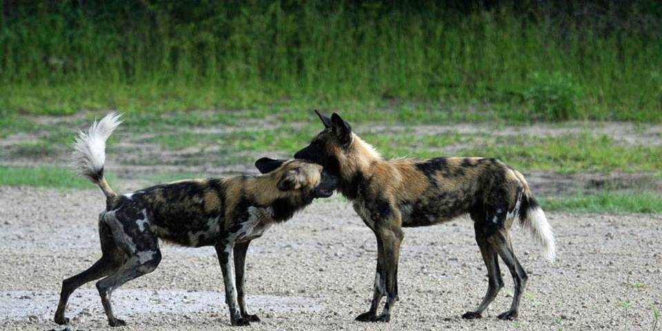 Two African wild dogs at Vumbura Plains safari camp