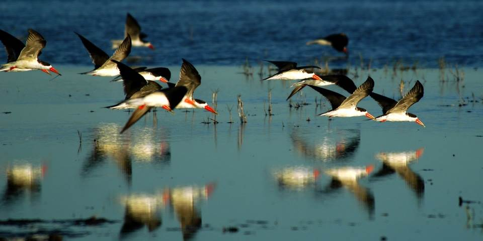 Flock of African skimmer birds in the Okavango Delta